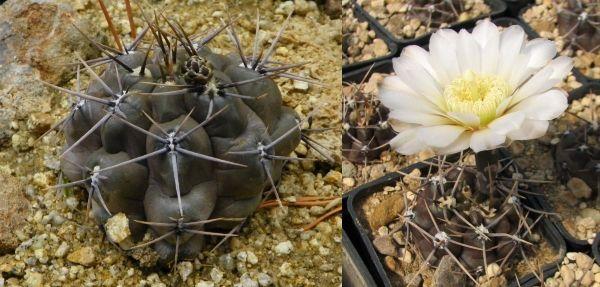 гимнокальциум gibbosum