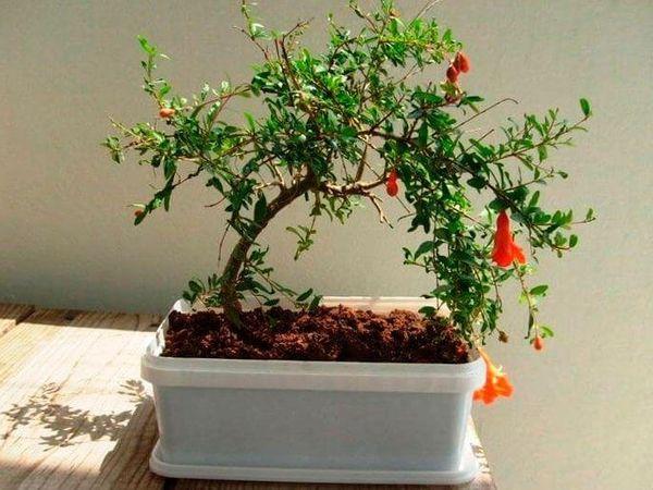 гранат домашнее растение