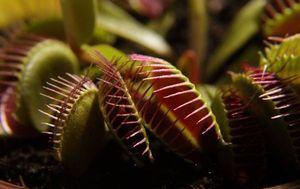 хищные растения - миниатюра