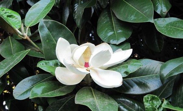 как цветет фикус эластик