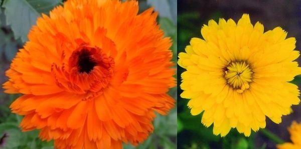 календула оранжевый король и лимонная красавица