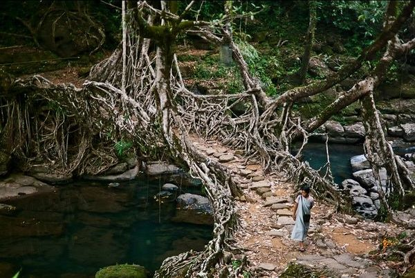 мост из корней фикуса