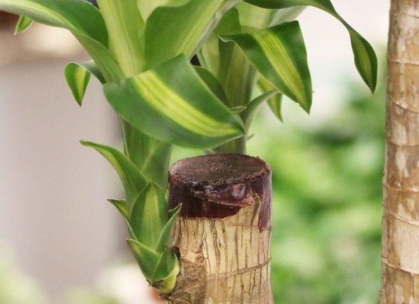 обрезка бамбука
