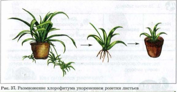 размножение хлорофитума