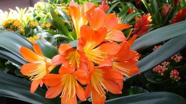 цветок кливия