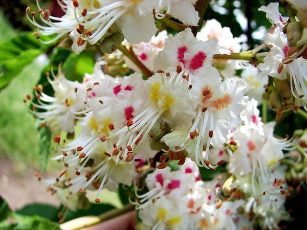 цветущие каштаны