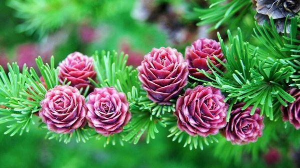 цветущие лиственницы