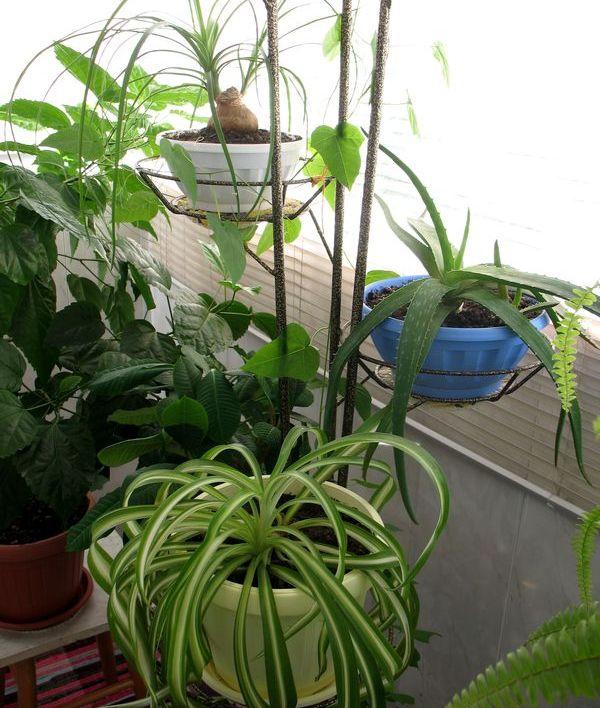 женское комнатное растение