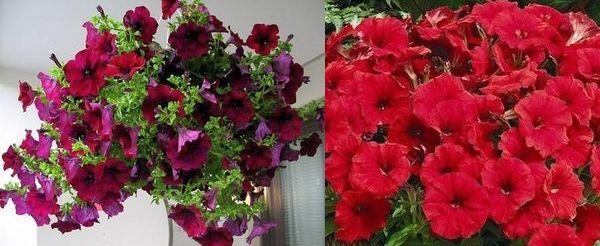 Бордовая Лавина - Pendula и Мираж Ред - Multiflora