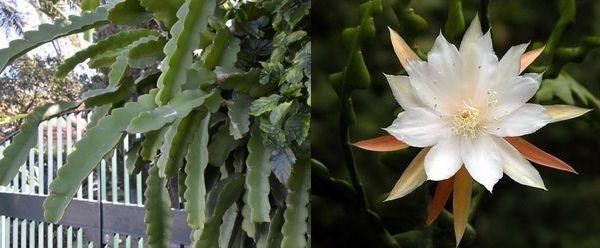 эпифиллум Лау