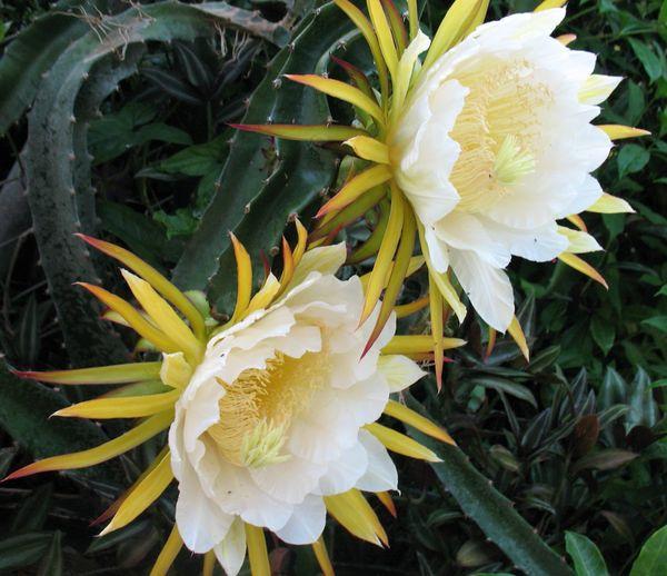 как цветет драгонфрут