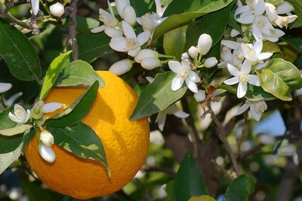 как цветет грейпфрут
