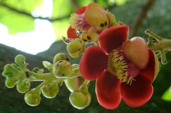 как цветет мангустин