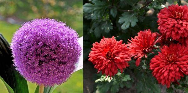лук и хризантема