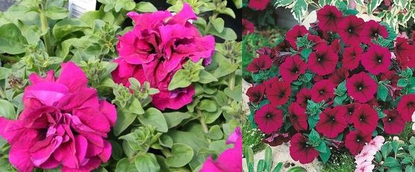 махровая петуния Каскада Пинк и Мираж Вельвет Multiflora