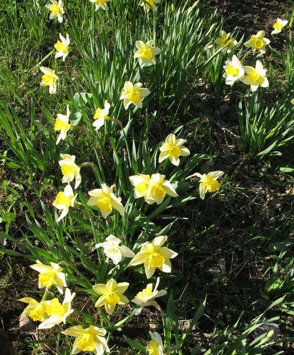 нарцисс легенда о цветке