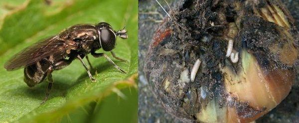нарциссовая муха
