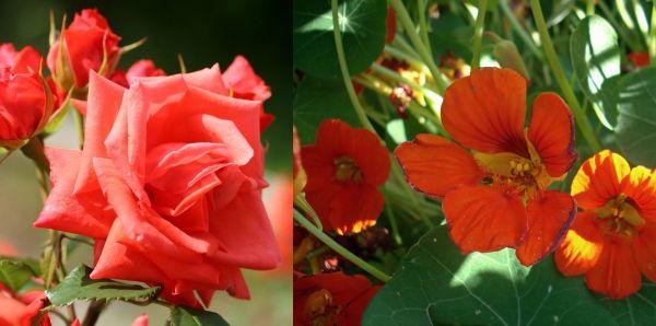 роза и настурция