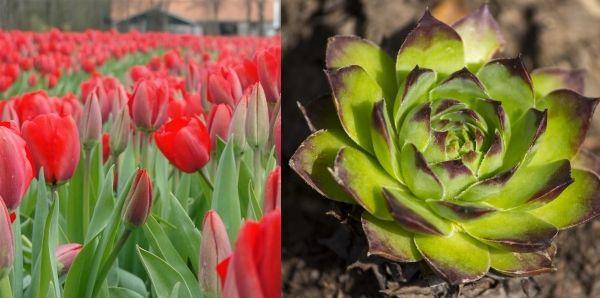 тюльпан и каменная роза