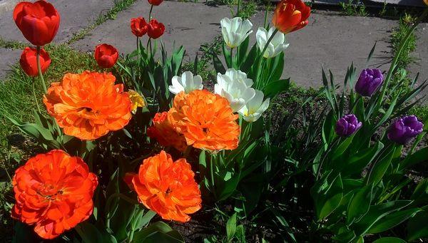 тюльпан садовый