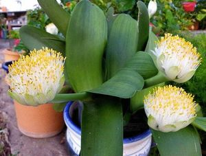 гемантус белоцветковый - миниатюра