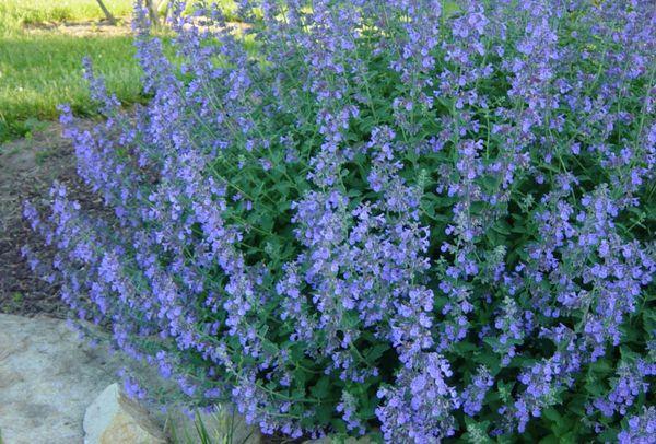 долгоцветущие цветы-котовник