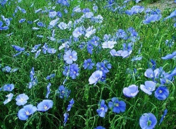 долгоцветущие цветы-лен