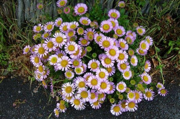 долгоцветущие цветы-мелколепестник