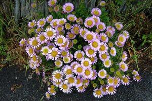 долгоцветущие цветы-миниатюра