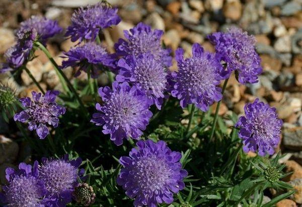 долгоцветущие цветы-скабиоза
