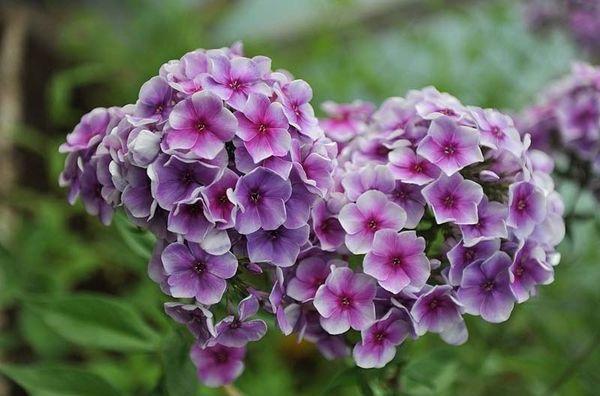 ночные цветы-флокс