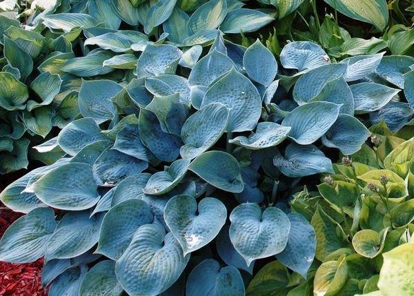 тенелюбивые растения-хоста