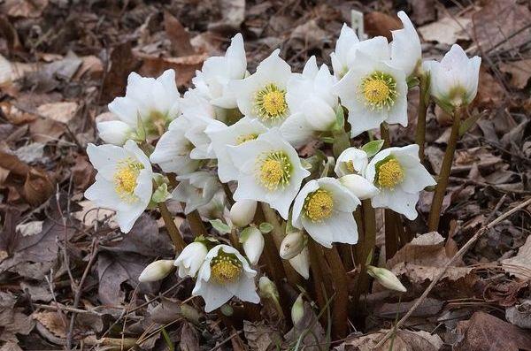 тенелюбивые растения-морозник