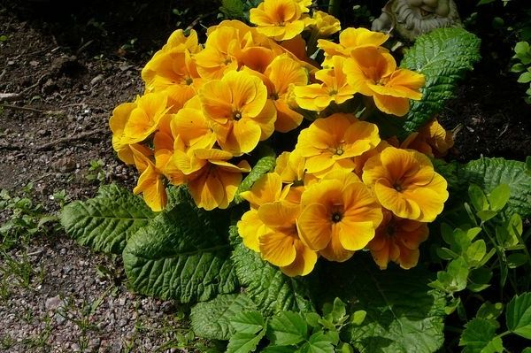 тенелюбивые растения-примула