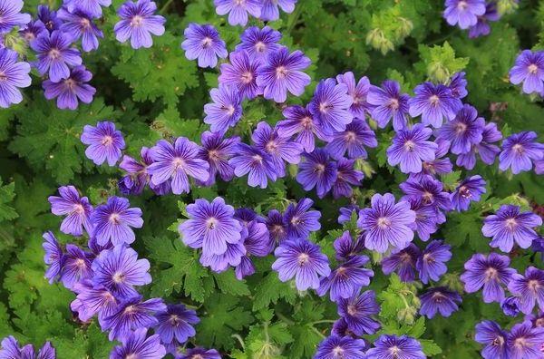 цветущие повторно-герань