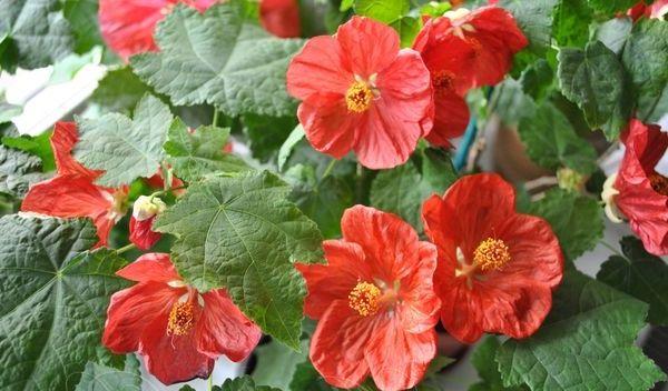 зимостойкие растения-абутилон