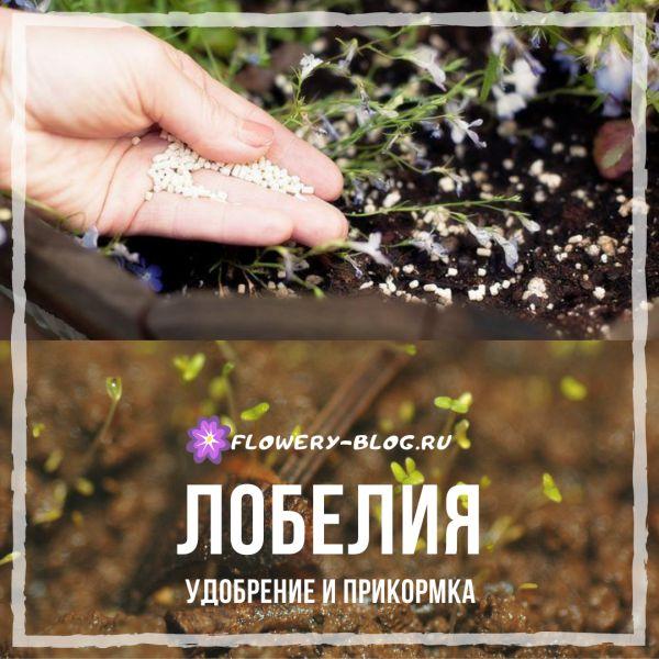 Лобелия: удобрение почвы и уход за растением