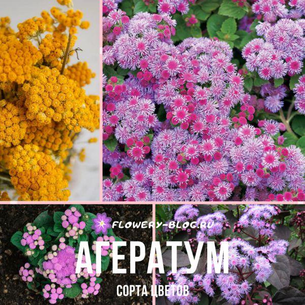 Агератум: сорта цветов