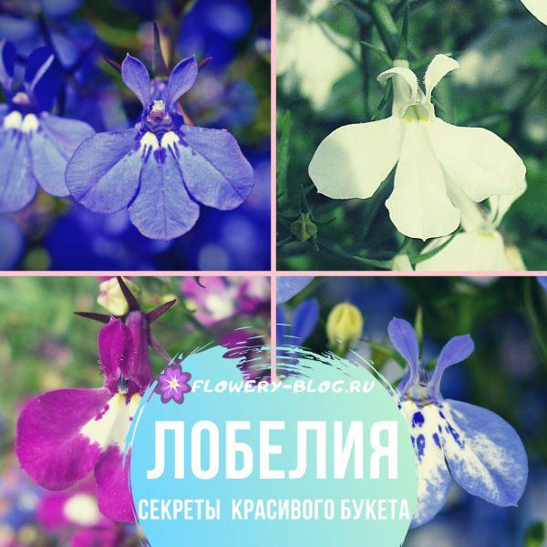 Лобелия: фото, описание цветов