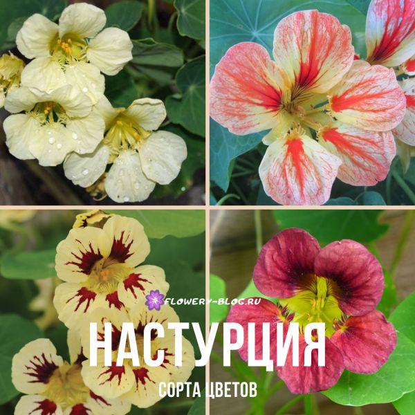 Настурция: фото, сорта цветов