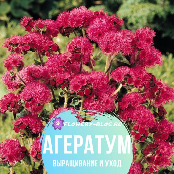 Как выращивать агератум из семян в домашних условиях