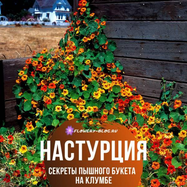 Настурция: выращивание на участке