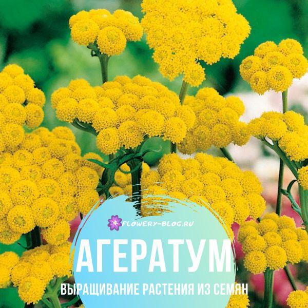 Агератум: выращивание из семян