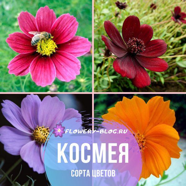 Космея: сорта цветов