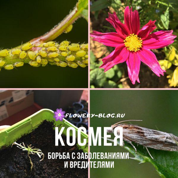 Космея: уход за цветами и борьба с вредителями