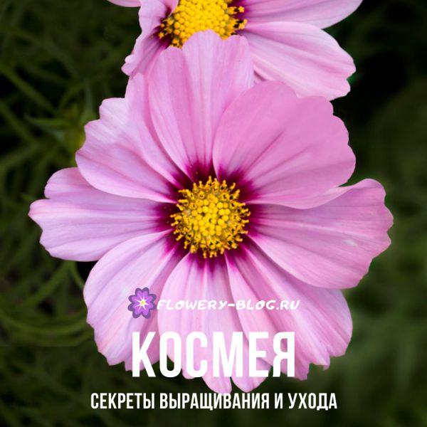 Сosmea