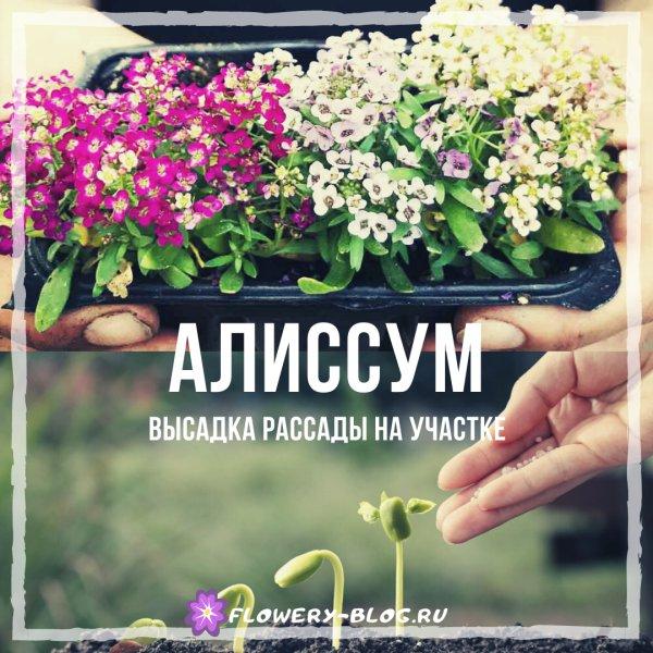 Алиссум выращивание из семян когда сажать