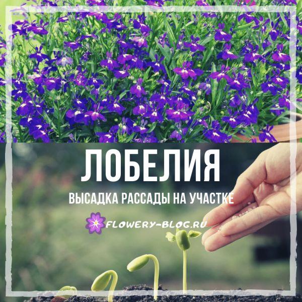 Лобелия: фото, выращивание из семян в домашних условиях