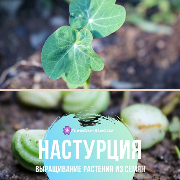 Настурция: выращивание из семян