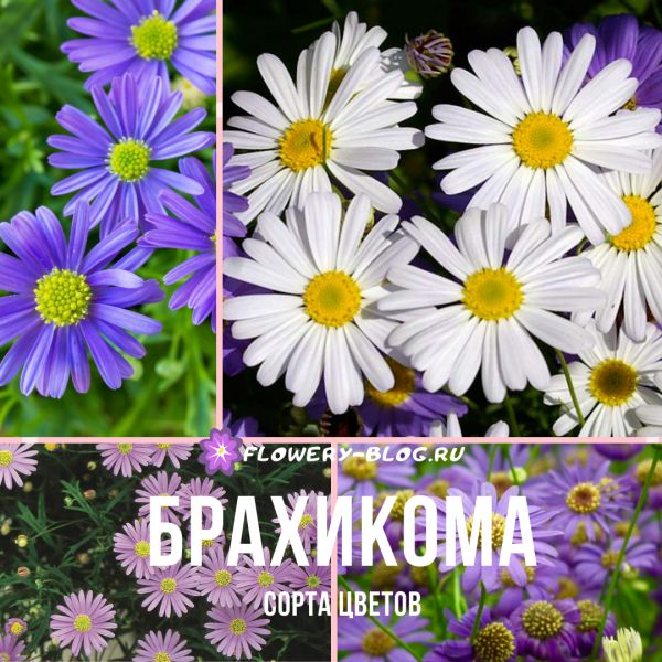 Брахикома (brachycome): фото, сорта цветов